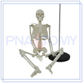 Завод напрямую продавать поставщиком 85см модель скелета