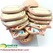 BRAIN01(12398) горизонтальное сечение 12шт головы человека CTMRI Анатомия модель для декоративного Sursery исследования