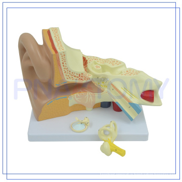 PNT-0670 Enlarged high quality Human Ear model