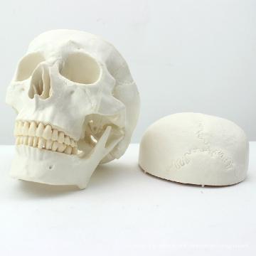 SKULL02 (12328) Modèle de crâne de taille humaine de la meilleure qualité Asie classique de taille pour la science médicale