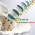 SPINE04-1 (12376) Medical Science Life Size Vertebral Column Spinal Model with Femur, Spine/Vertebrae Models