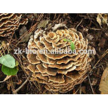 Organic Coriolus Mushroom Extract Powder