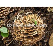 Pó orgânico do extrato do cogumelo de Coriolus