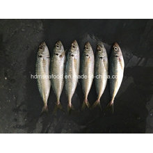 Neuer Fisch Japanischer Sacd