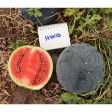 HW10 Yuxu grande redondo negro F1 híbrido semillas de sandía chinas en venta