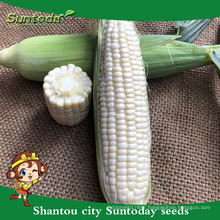 Suntoday vegetable seeds from thailand/usa F1 eat fresh hybrid sweet white corn seeds planter breeder for sale(61002)