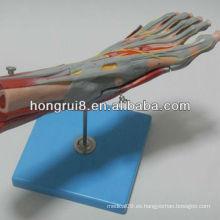 Músculos ISO Modelo de pie con los vasos principales y los nervios