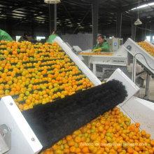 Export Standard Qualität von frischen Baby Mandarine