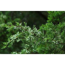 Pure Chinese Weeping Cypress Leaf , Chinese Herbal Medicine