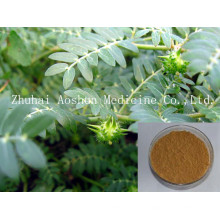 GMP Certified Tribulus Terrestris Extract
