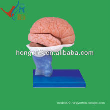 Life size PVC material human brain anatomical model
