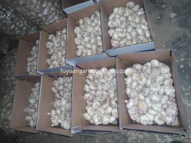 big size garlic 2