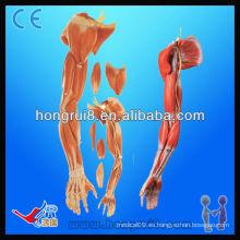 Modelo Anatómico ISO de los Músculos de las Partes Superiores