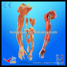 ISO-анатомическая модель мышц верхней конечности