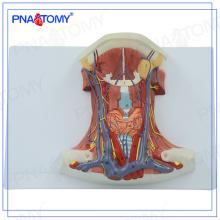 PNT-0345 Modèle anatomique des muscles cervicaux antérieurs de la taille de la vie