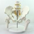 PELVIS01 (12338) Medizinische Anatomie Life-Size Becken Skelett Modell mit beweglichen Femur Köpfe und 2pcs Lendenwirbelsäule