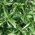 Andrographis Paniculata Extract Andrographolide 98%