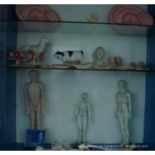 Modelo de acupuntura masculino y femenino con diferentes tamaños