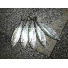 Gefrorene Fisch Indische Makrele zum Verkauf