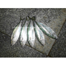 Frozen Fish Indian Mackerel for Sale