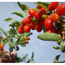 2018 новый свежий без ГМО Годжи