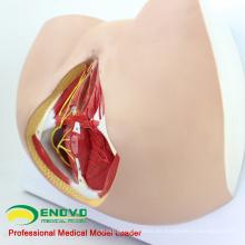 VENDER 12462 Modelo de Perineo Femenino de Anatomía y Biología de Tamaño de Vida