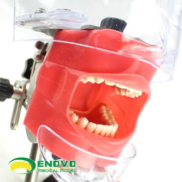 DENTAL02-1(12560) Easy Fixing Dental Phantom Head for Dentisty Colloge, Dental Simulator Unit Teaching Head