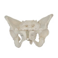 I-Adult Female Pelvis