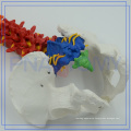 PNT-0120C 85cm colored spinal model