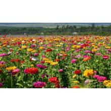 Zinnia elegans flower seeds