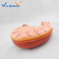Digestive system Stomach Model