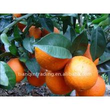 Пупок оранжевый