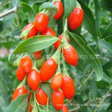 Méduse Ningxia Goji Berry Wolfberry