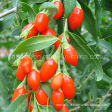 Nêspera Goji Berry Wolfberry