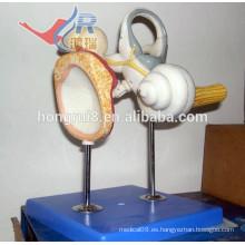 ISO Modelo de oído interno con osículos auditivos y membrana timpánica
