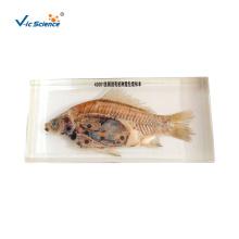 Fish Anatomy Organic Resin Embedded Specimen