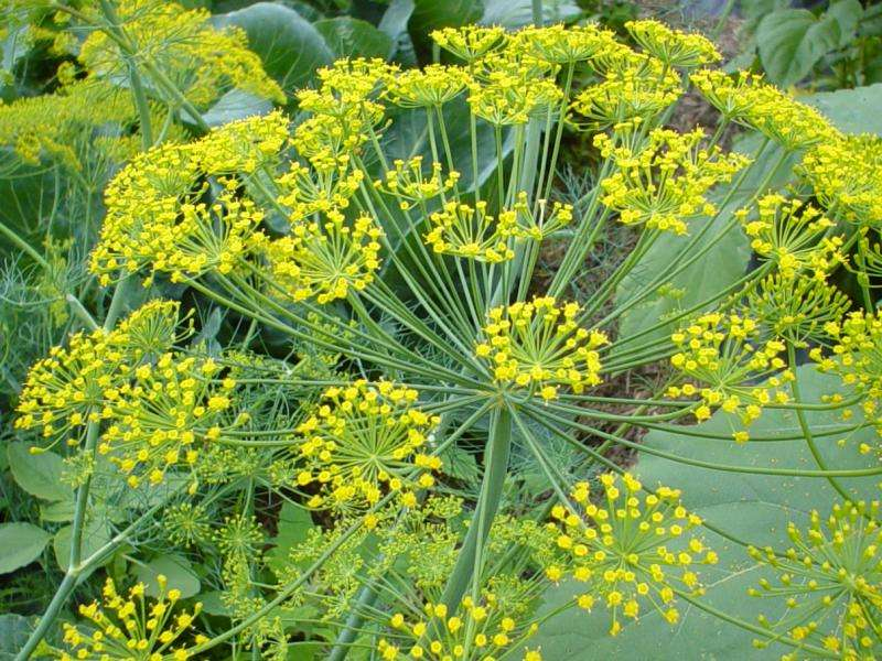 Fennel Seed P