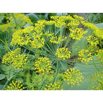 Fennel Seed P.E.