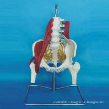 Анатомическая модель человека с тазобедренным суставом