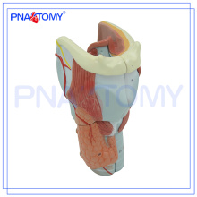PNT-0440 modelo de anatomía plástica de extensión de la laringe de cartílagos modelo de anatomía plástica