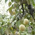 Fresh Chinese New Crop Ya Pear
