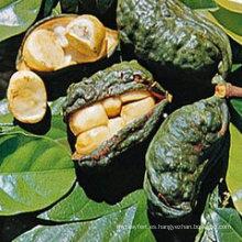 Extracto de Kola Nut de pérdida de peso 10: 1