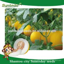 Suntoday продолговатого ковчега желтый цвет кожуры с белой мякотью азиатских овощей F1 гибридных семян органические дыни(18007)