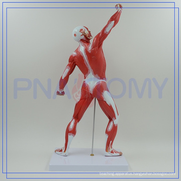 PNT-0341 best selling high quality human muscle anatomy model of Higih Quality