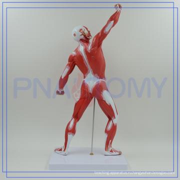 ПНТ-0341 лучшие продажи высокое качество человека мышцы анатомия модель Higih качества