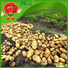 fresh potato factory on sale/ the lowest price of fresh potatoes
