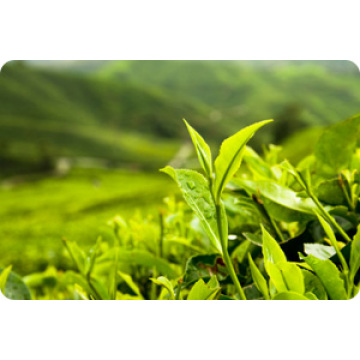 Chinese Professional for Plant Extracts Green Tea Extract supply to Djibouti Manufacturer
