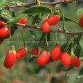 Mispel Chinese Wolfberry (Gojiberry) mit hoher Reputation in der Oversea Market