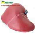 VISCERA07 (12544) Modelo de Hígado Humano de Ciencias Médicas para la Enseñanza