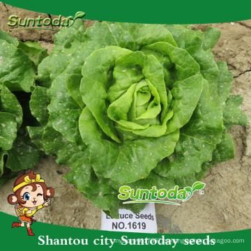 Suntoday vegetal F1 orgânicos romaine cos imagem de alface granel orgânico plantando sementes (32001)